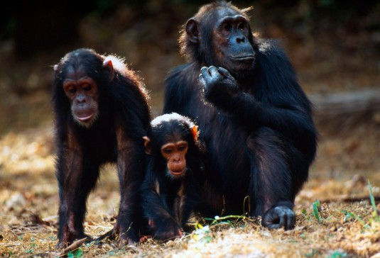 Chimpanzees, mother with youngs Jane Goodall Research Centre Gombé, Tanzania