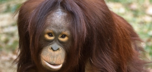 orangutang-topp-su-neko-flickr