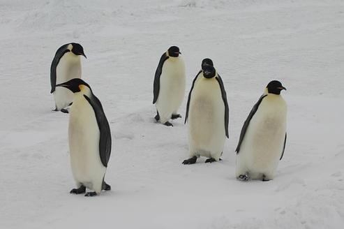 bild pingvin